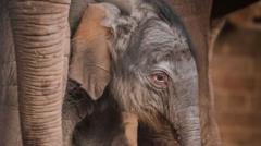 Chester zoo welcomes Asian elephant calf.