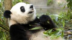 A panda relaxing with bamboo