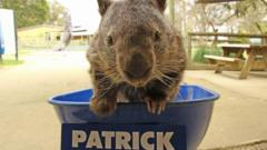 Screen grab of Facebook post by Patrick the Wombat