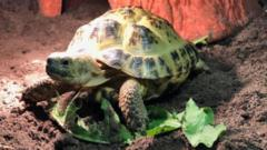 Herman the tortoise