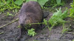 Beavers in Scotland