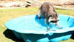 Racoon in paddling pool