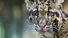 clouded-leopard.