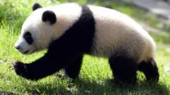 Giant panda takes step forward