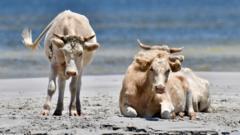 cows on cedar island beach