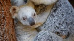 A rare white koala with its mother at Australia Zoo in Queensland