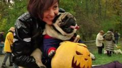 Pugs dress up for Halloween