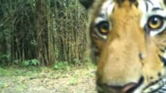 This year 79 tigers were captured on hidden cameras in Thailand's Huai Kha Khaeng-Thungyai forest.