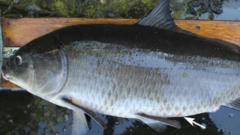 bigmouth-buffalo-fish.