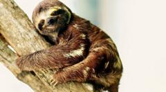 A sloth on a branch