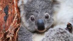 Koalas in a zoo in Australia
