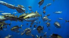 Yellowfin tuna in the Pacific Ocean