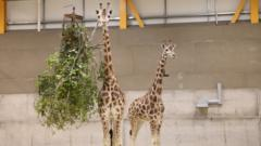 Two giraffes pictures indoors.
