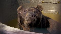 A bear pulls a funny face whilst sat in a trough of water