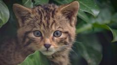a rare Scottish wildcat kitten that has been born at chester zoo