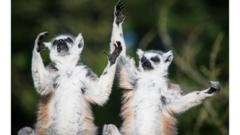 lemurs-yoga