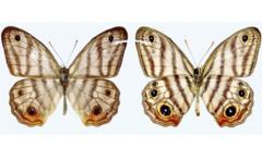 Euptychia attenboroughi