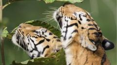 Two tigers sniffing leaves.