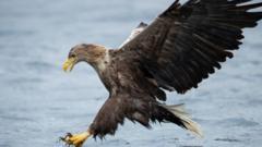 A-white-tailed-eagle-hunts-a-fish