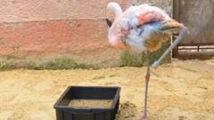 Flamingo with prosthetic leg