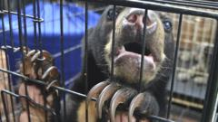 Rescued sun bear in Indonesia