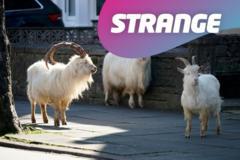 Goats on a street