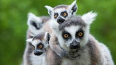 Lemurs.
