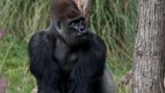 Stock image of gorilla