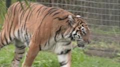 Simi the tiger