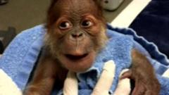 Baby orangutan at Memphis Zoo, America