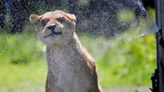lioness-using-sprinkler.