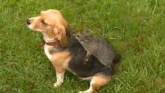 Molly the beagle from Australia has made best friends with a possum. They've been inseparable since the possum jumped on Molly's back a few weeks ago.