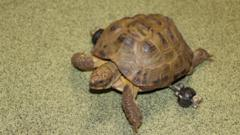Harry the Tortoise with his new wheels