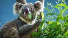 Koala-eating-leaves.