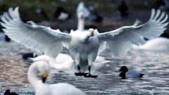 Siberian Bewick's swan lands on water