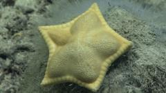 ravioli starfish.
