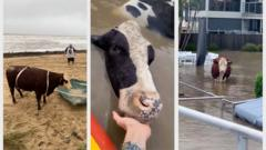 Three cows stranded by floodwaters