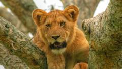 Lion at Queen Elizabeth National Park