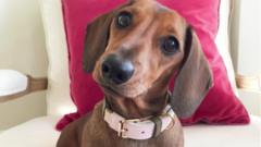 Noodle is a miniature dachshund