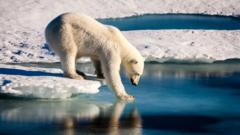 Polar bear carefully touching the sea surface in order to cross a melt pond in the high Arctic Ocean, which is strongly influenced by climate change.