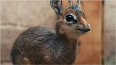 Rare, and super cute, baby antelope born!