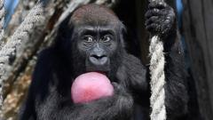 A young lowland gorilla called Gernot eats iced treats with nuts and berries during the hot weather at London Zoo in London