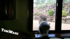 The mountain lion and cat come face to face in Colorado USA