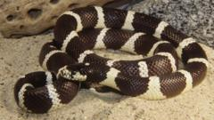 A coiled California king snake