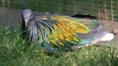a Nicobar pigeon
