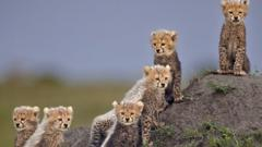 baby-cheetahs-on-rock