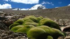 Cushion plants growing 6km above sea level