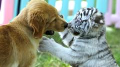 A golden retriever puppy and white tiger cub playing