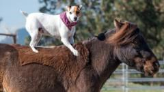 Dally the dog riding Spanky the horse bareback