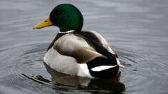 A drake mallard duck on Duddingston Loch, Edinburgh, Scotland.